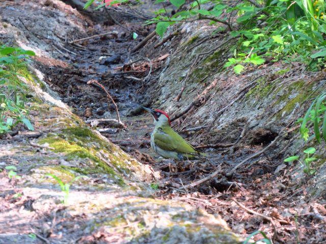В Железноводске у подножья горы Бештау появился редкий зелёный дятел