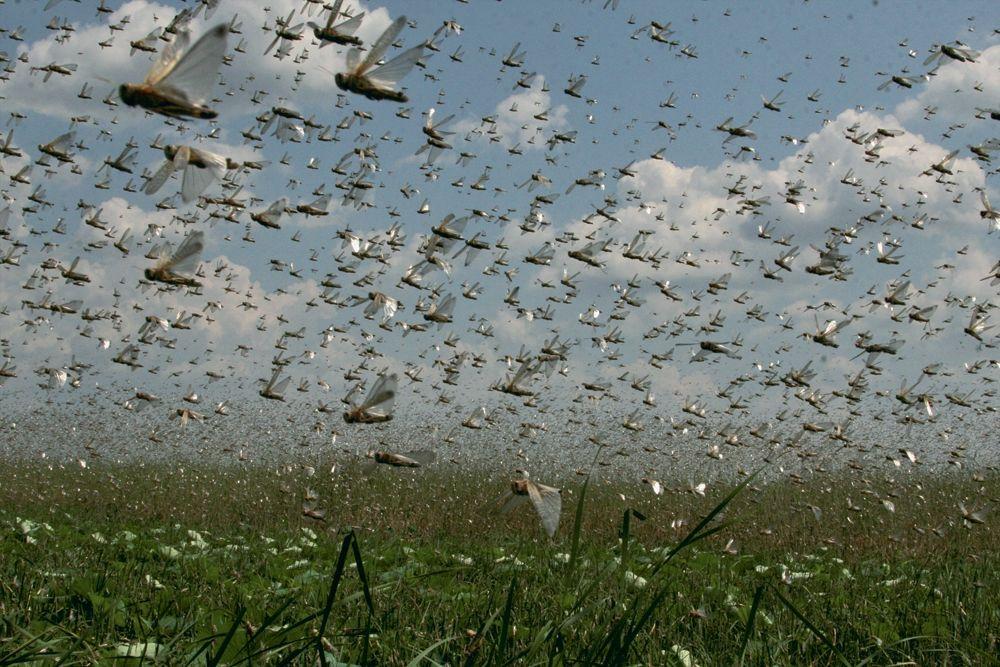 Стаи саранчи выгоняют соСтаврополья наземной ивоздушной техникой