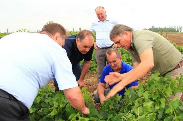 Минсельхоз: В Левокумском районе восстановлены практически все виноградники