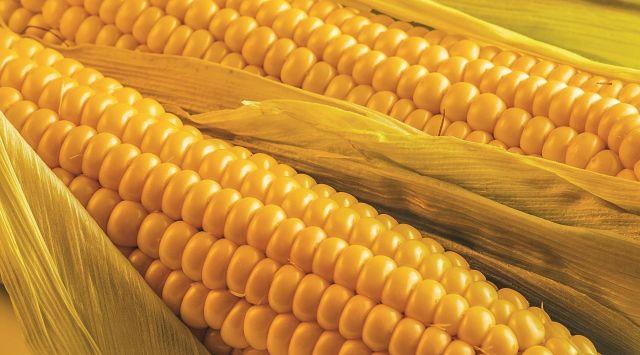 На Ставрополье в кормовой кукурузе выявили превышение опасного микотоксина
