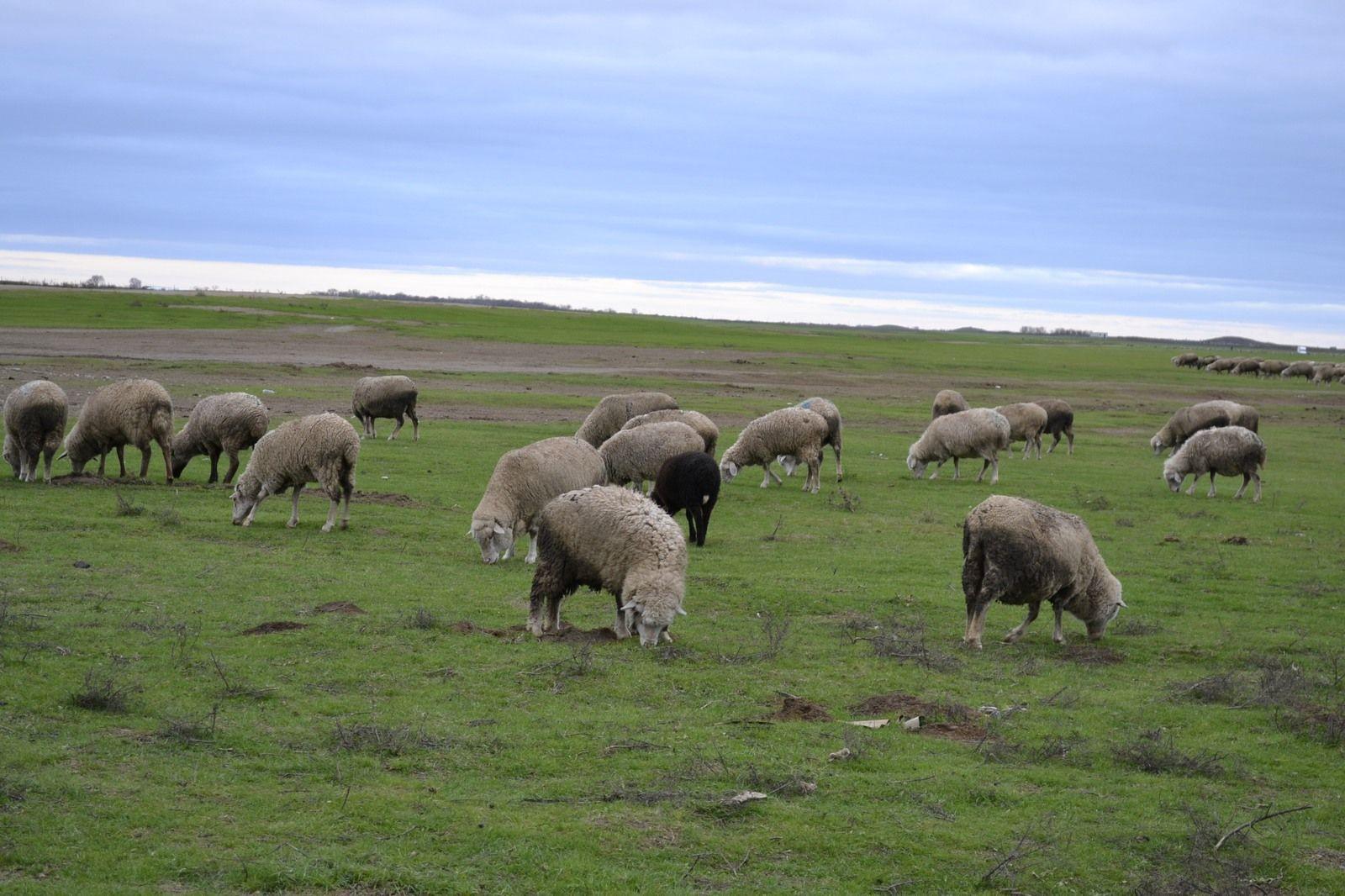 На Ставрополье задержали двух молодых людей, укравших овец