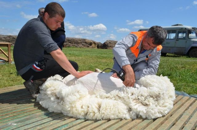 На Ставрополье планируют получить до полутора тысяч тонн шерсти