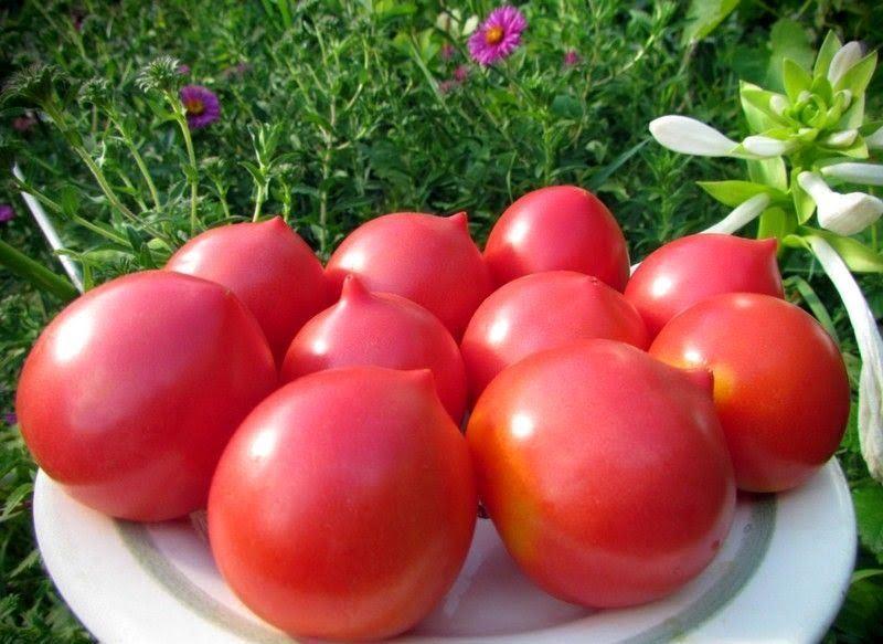 Кочубеевский фермер собрал 67 центнеров тепличных томатов