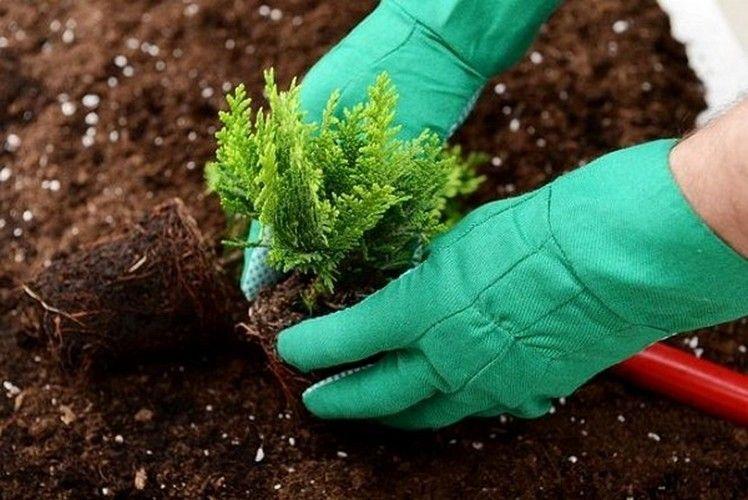 Краевой центр планируется озеленить можжевельником, туями и соснами