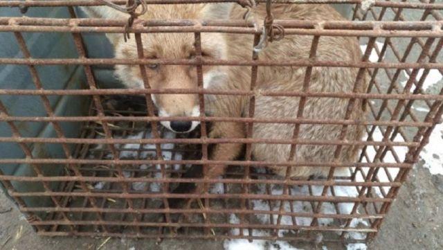 Объявление о продаже диких лис возмутило ставропольцев