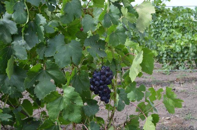В Ставропольском крае завершили сбор винограда