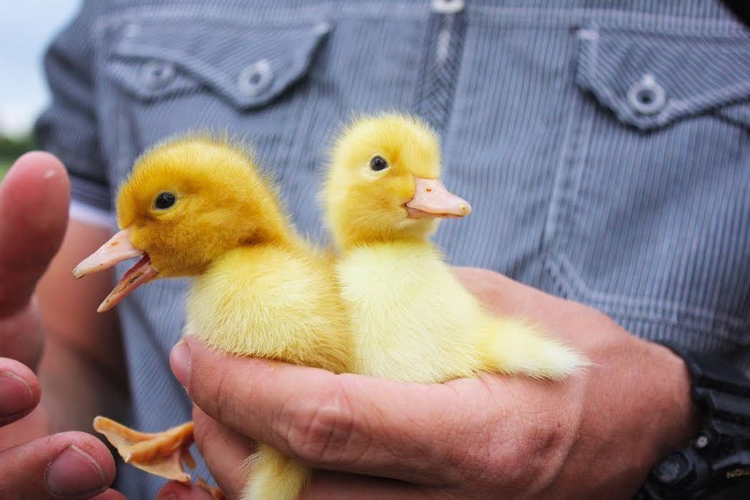 НаСтаврополье пострадавшим отпаводка передали 3 тыс. цыплят