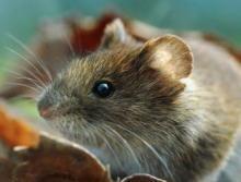 В крае наблюдается нашествие мышей