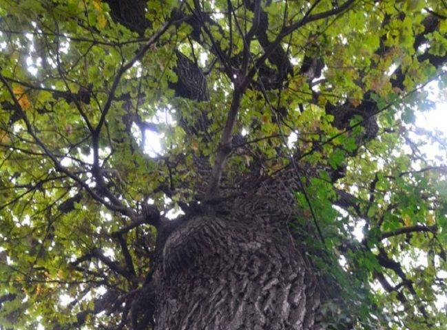 В Железноводске дуб-гигант сделают туристическим объектом