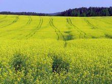 35% всего урожая рапса в России собраны на Ставрополье