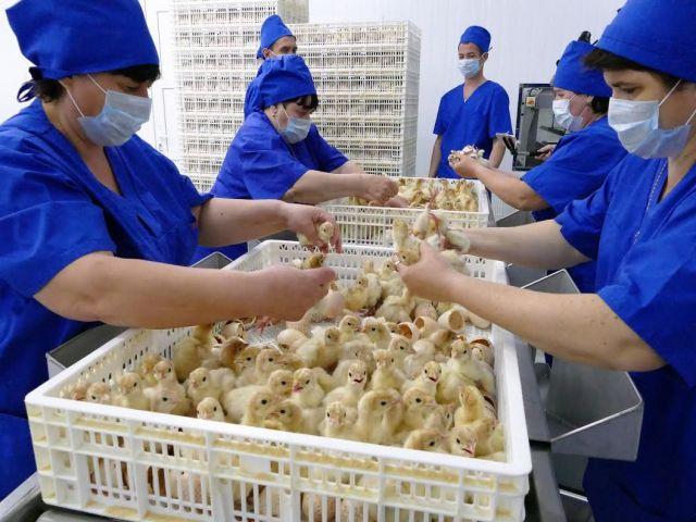22 тысячи птенцов родились в крупнейшем индейководческом хозяйстве Ставрополья