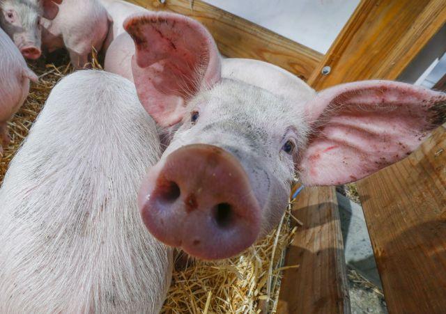 Заражённая свинина не попадёт на прилавки Ставрополя