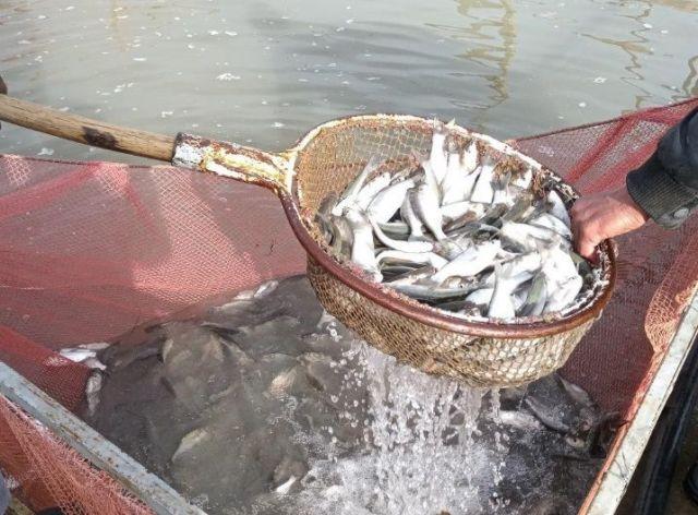 В Егорлыкское водохранилище выпустили 165 тысяч мальков белого толстолобика