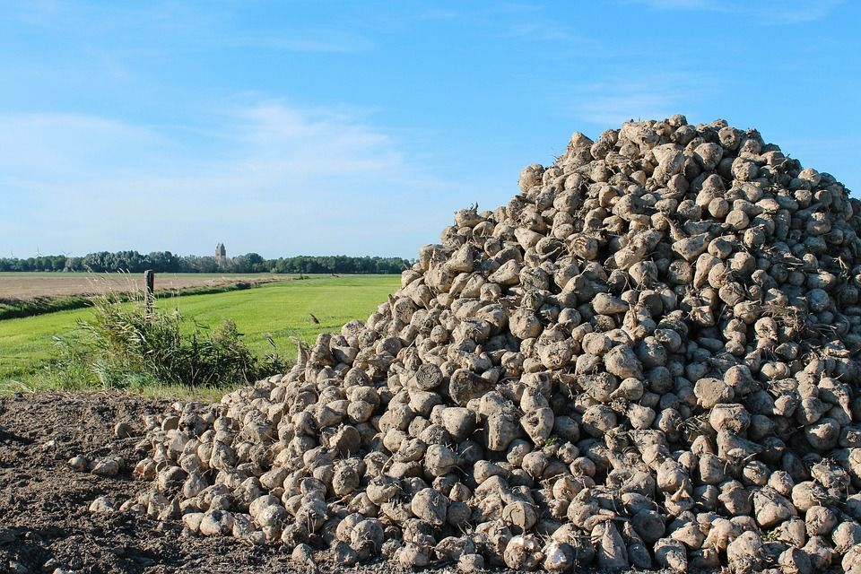На Ставрополье собрали миллион тонн сахарной свёклы