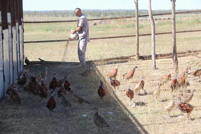 На Ставрополье увеличивают численность фазанов
