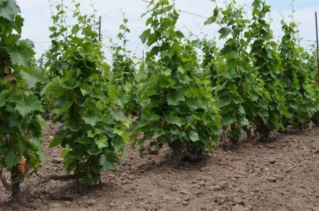 На Ставрополье приступили к закладке виноградников