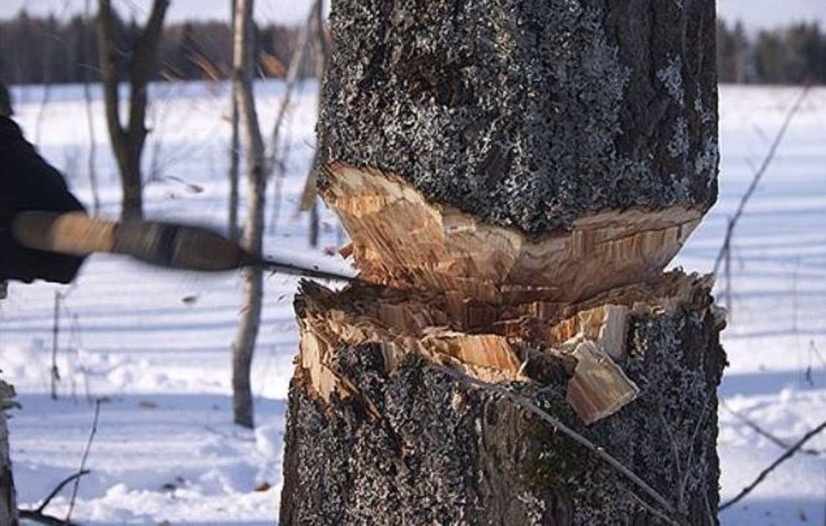 Житель Ставрополья незаконно срубил 132 дерева белой акации
