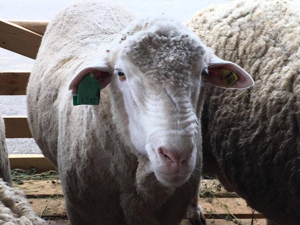 Ставрополье лидировало понаградам навыставке овец вАстрахани