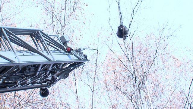 В Пятигорске забравшегося на дерево енота снимали с помощью вышки