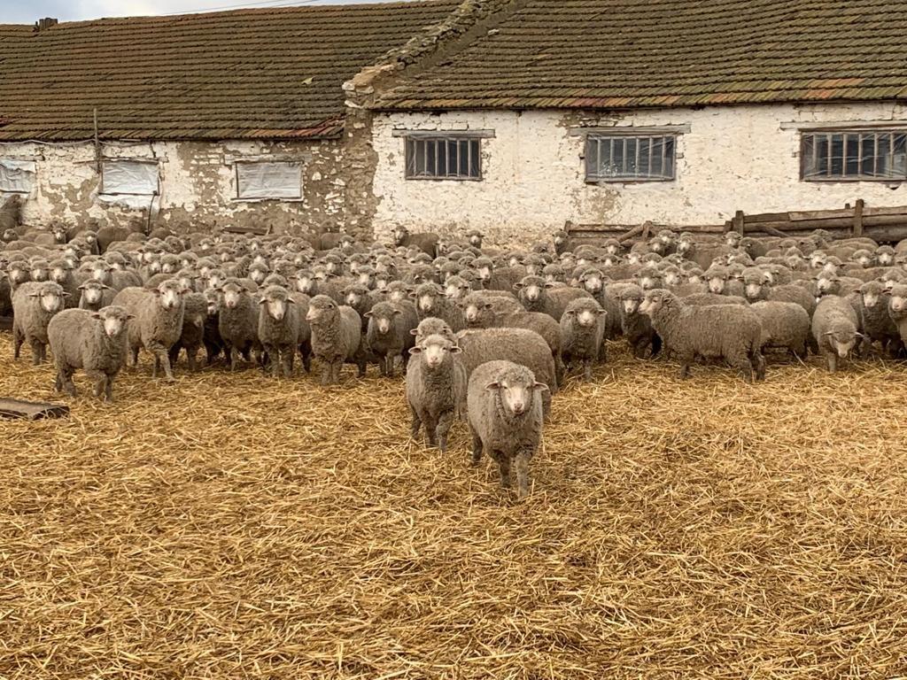 В Ставропольском крае зимовку проходят 134 тысячи голов племенных овец