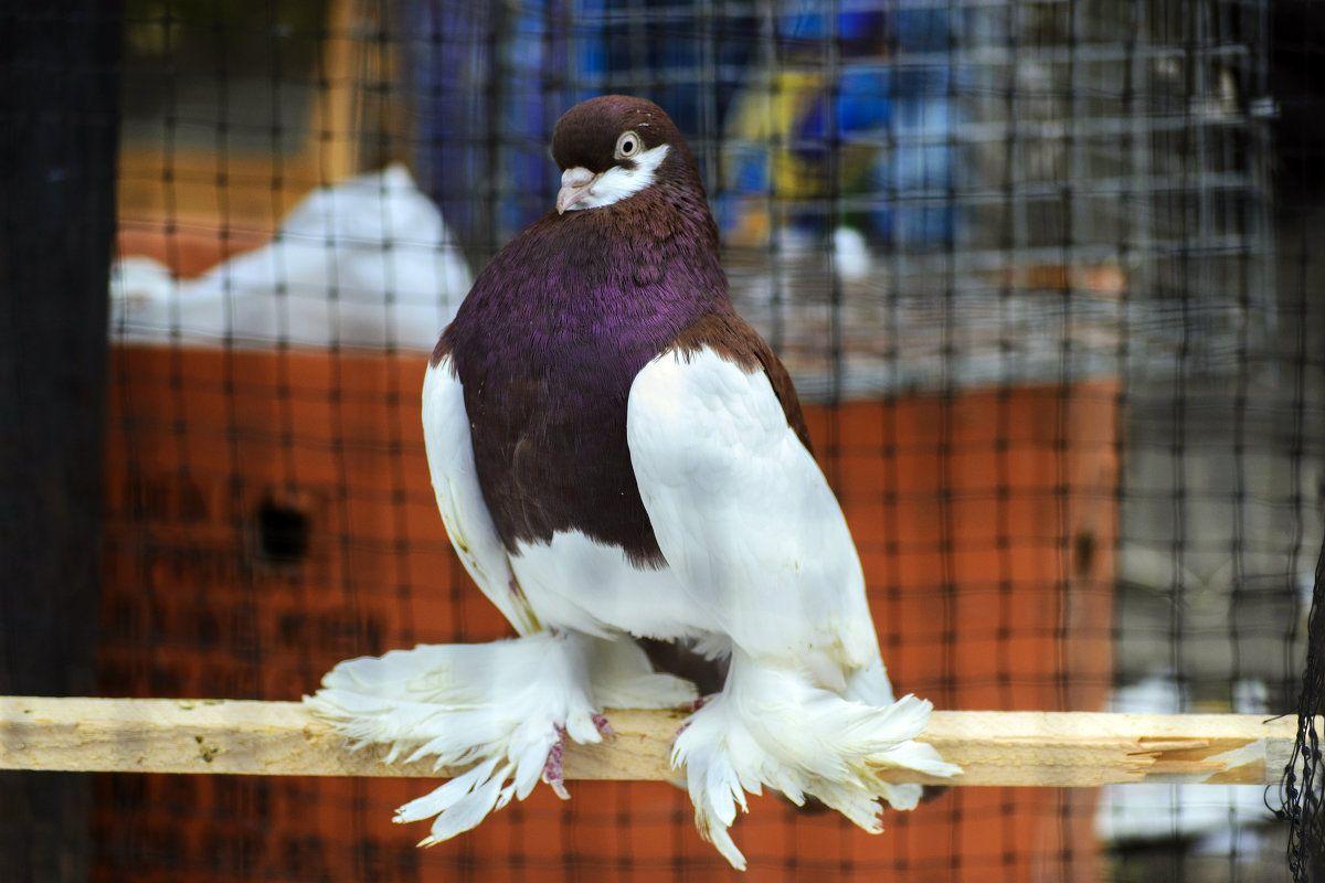 порода голубей декоративные с фотографией говорила